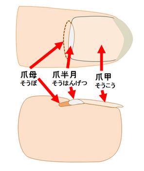 人の指の爪の構造